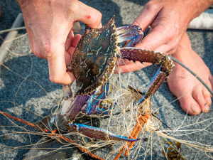 Gold Coast couple fined $53,000 for illegal crab haul