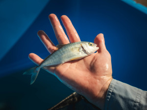 GALLERY: Lake Macquarie yellowtail kingfish stocking