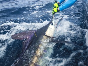 ENVIRONMENT: Striped marlin