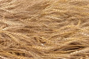 New wheat breed gives hope to coeliacs