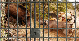Inmates pig hunting and drinking at alternative rural prison