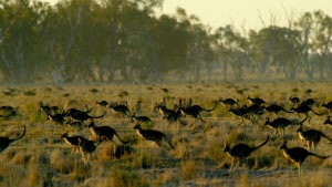 Kangaroo culling laws relaxed - Greenies not happy