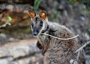 Endangered joeys spotted in Grampians NP