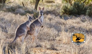 Kangaroo's Killed for Eel Baits Proves Costly