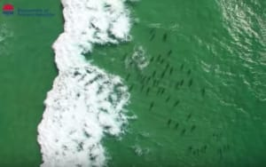 Watch drones detecting sharks at Lighthouse Beach
