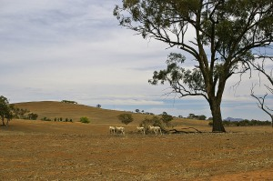Declining sheep numbers force plant shutdowns