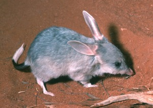 Bilbies reintroduced to Mallee Cliffs NP