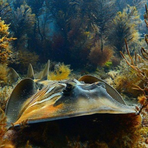 More protection for Vic stingrays