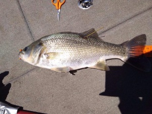 Tagged bass recaptured after 22 years