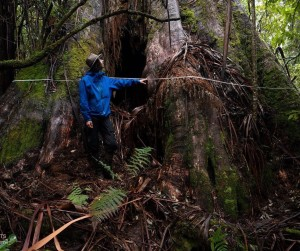 Tassie's widest tree discovered in proposed logging area