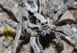 Thought-to-be-extinct spider found in Britain