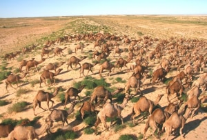 10,000 Camels to be Culled
