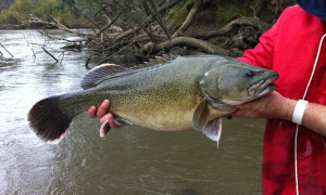 Do you find it hard to tell trout cod and Murray cod apart?