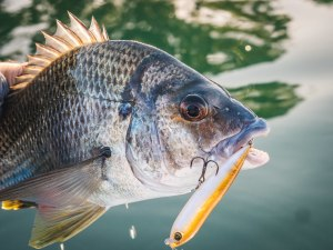 Bream trends: How to catch bream on lures