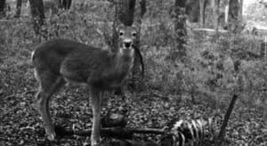 Deer spotted eating human remains