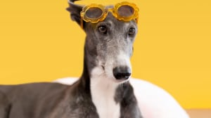 Instagram flaunts greyhounds on Stories to encourage adoption