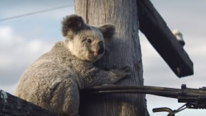 NRMA Insurance look to protect koala homes