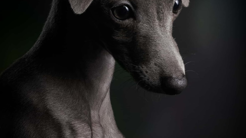 First place, Puppies, Klaus Dyba, Germany. Ceylin, a three-month-old Italian greyhound.