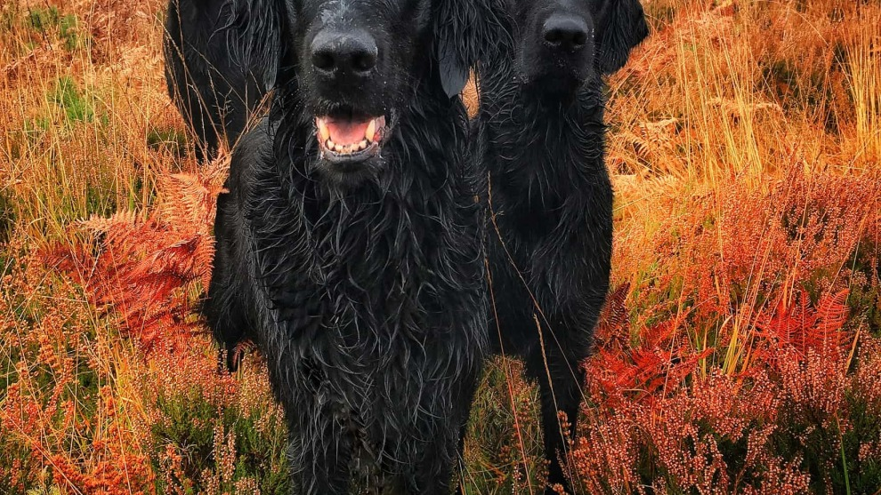 First place, Portrait,by Carol Durrant. Three flat-coated retrievers – Crew, Darcie and Pagan.
