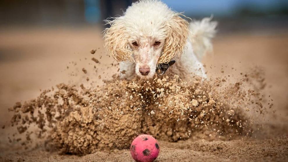 Judges' mention, Dogs at Play, by Darren William Hall. Ted, a miniature poodle, slams on the brakes on the beach at Whitley Bay, UK