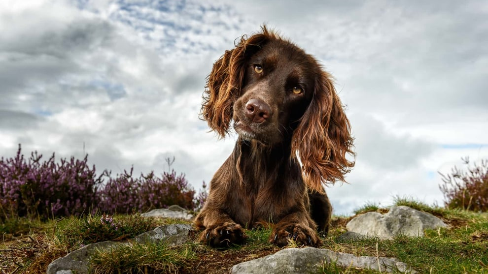 Judges' mention, Portrait, Jonathan Yearsley. Tatti, an English cocker spaniel.