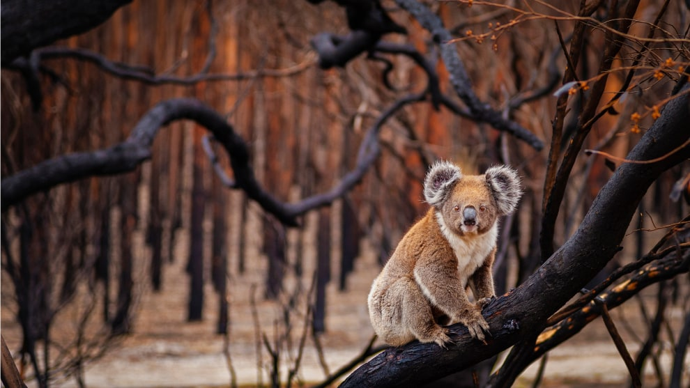 "Resilience by Julie Fletcher. Terrestrial Wildlife Finalist, Kangaroo Island, South Australia. In 2018, Australia experienced its third-hottest year on record—temperatures that, coupled with historic droughts, created prime conditions for bushfires. For slow-moving koalas (Phascolarctos cinereus), the odds of surviving fast-burning blazes like these are slim. Which made photographer Julie Fletcher's discovery on this day all the more surprising. Having set out to document the desolate, fire-ravaged forests on Kangaroo Island off South Australia, Fletcher watched as the determined koala, its fur tinged burnt sienna, climbed a tree and began to munch charred, crispy leaves. ""He was watching me the whole time,"" she says, ""with an intensity that told the story."""