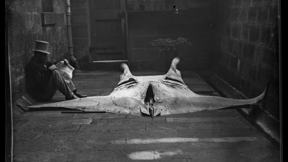Gerard Krefft with the newly discovered Manta Ray, Manta alfredi, 1869. Credit: Australian Museum.