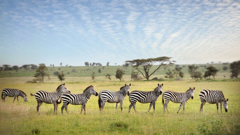A line of zebras on the Serengeti Plains, Tanzania