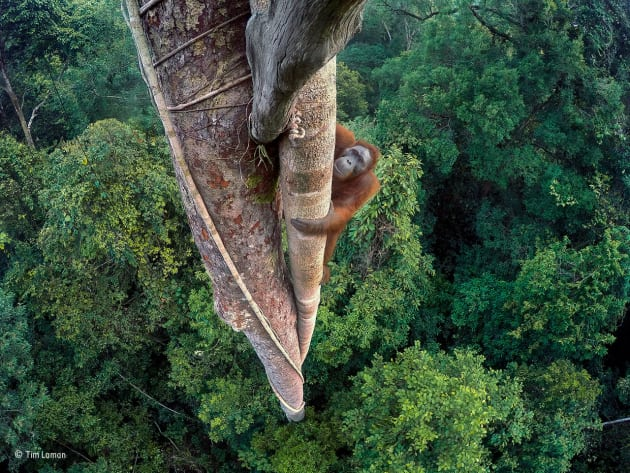 Entwined lives, Tim Laman, USA, Winner/ A young male orangutan makes the 30-metre (100-foot) climb up the thickest root of the strangler fig that has entwined itself around a tree emerging high above the canopy. The backdrop is the rich rainforest of the Gunung Palung National Park, in West Kalimantan, one of the few protected orangutan strongholds in Indonesian Borneo. The orangutan has returned to feast on the crop of figs. He has a mental map of the likely fruiting trees in his huge range, and he has already feasted here. Tim knew he would return and, more important, that there was no way to reach the top – no route through the canopy – other than up the tree. But he had to do three days of climbing up and down himself, by rope, to place in position several GoPro cameras that he could trigger remotely to give him a chance of not only a wide‑angle view of the forest below but also a view of the orangutan's face from above. GoPro HERO4 Black; 1/30 sec at f2.8; ISO 231.
