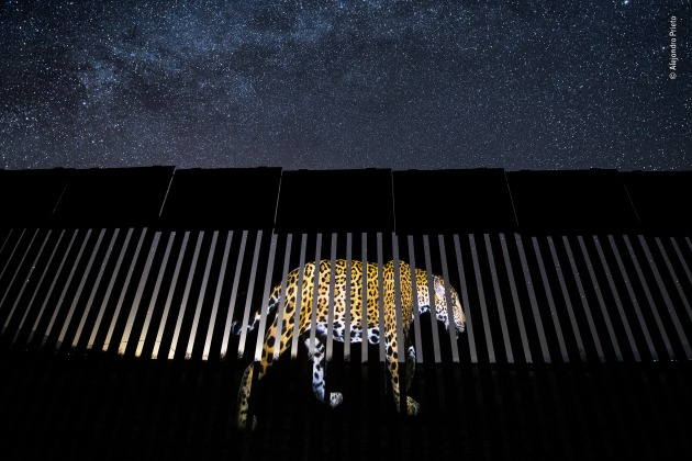 Another barred migrant by Alejandro Prieto, Mexico. Winner 2019, Wildlife Photojournalism: Single Image. Under a luminous star-studded Arizona sky, an enormous image of a male jaguar is projected onto a section of the US-Mexico border fence – symbolic, says Alejandro, of 'the jaguars' past and future existence in the United States'. Today, the jaguar's stronghold is in the Amazon, but historically, the range of this large, powerful cat included the southwestern US. Over the past century, human impact – from hunting, which was banned in 1997 when jaguars became a protected species, and habitat destruction – has resulted in the species becoming virtually extinct in the US.