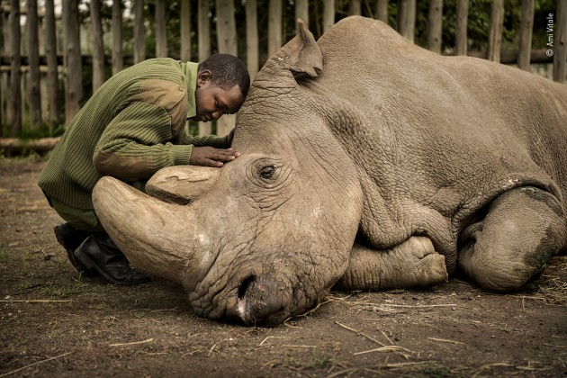 The last goodbye Ami Vitale, USA Joseph Wachira comforts Sudan, the last male northern white rhino left on the planet, moments before he passed away at Ol Pejeta Wildlife Conservancy in northern Kenya. Suffering from age-related complications, he died surrounded by the people who had cared for him. With every extinction we suffer more than loss of ecosystem health. When we see ourselves as part of nature, we understand that saving nature is really about saving ourselves. Ami's hope is that Sudan's legacy will serve as a catalyst to awaken humanity to this reality.
