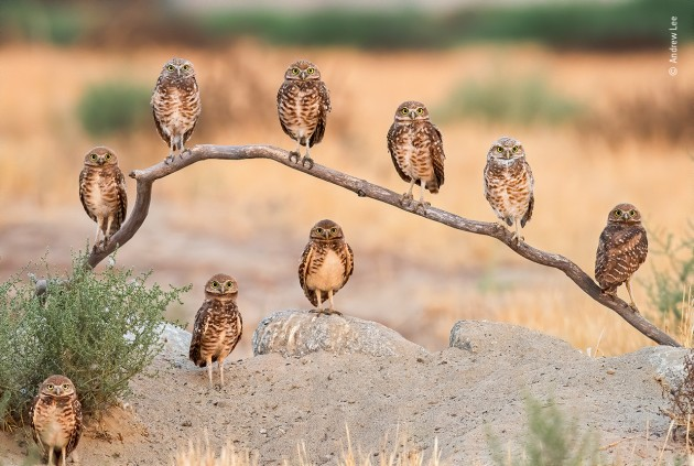 Family portrait by Andrew Lee, USA Capturing a family portrait of mum, dad and their eight chicks proved tricky for Andrew – they never got together to pose as a perfect 10. Burrowing owls of Ontario, California often have large families so he knew it wouldn't be easy. After many days of waiting, and when dad was out of sight, mum and her brood suddenly turned wide-eyed to glance in his direction – the first time he had seen them all together. He quickly seized the precious moment.
