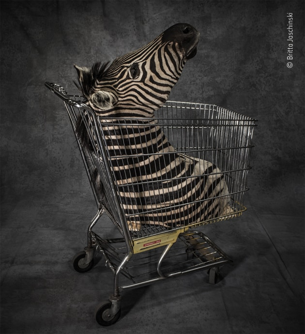 Licence to kill by Britta Jaschinski, Germany Britta's photographs of items seized at airports and borders across the globe are a quest to understand why some individuals continue to demand wildlife products, even if this causes suffering and, in some cases, pushes species to the brink of extinction. This zebra head was confiscated at a border point in the USA. Most likely, the hunter was not able to show proof that the zebra was killed with a license. Britta found the use of a shopping trolley to move the confiscated item ironic, posing the question: wildlife or commodity?