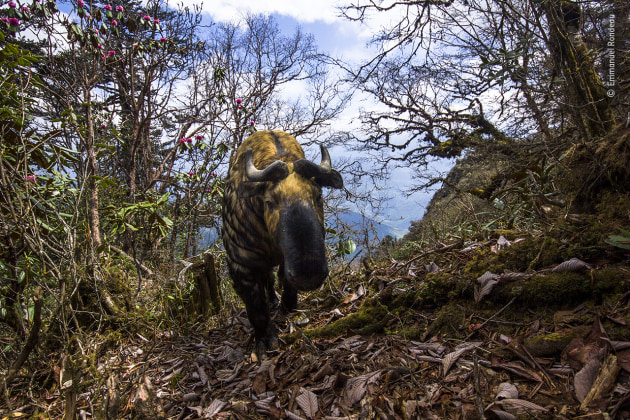 Spirit of Bhutan by Emmanuel Rondeau, France On assignment for WWF UK, Emmanuel's brief was to photograph the elusive wildlife of the Bhutanese mountains. Surprised to find a rhododendron at an altitude of 3,500 metres (11,500 feet), he installed a camera trap, hoping, although not overly confident, that the large mammals he was there for would use the very narrow forest path nearby. Returning many weeks later, Emmanuel was amazed to find a head-on picture of a takin, with the colours of blue sky, pink flowers and mustard yellow coat of the beast perfectly complementing one another.