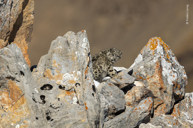 Baby on the rocks by Frédéric Larrey, France When this six-month-old snow leopard cub wasn't following its mother and copying her movements, it sought protection among the rocks. This was the second family of snow leopards that Frédéric photographed on the Tibetan plateau in autumn 2017. Unlike other regions, where poaching is rife, there is a healthy breeding population in this mountain massif as the leopards are free from persecution by hunters and prey is plentiful.