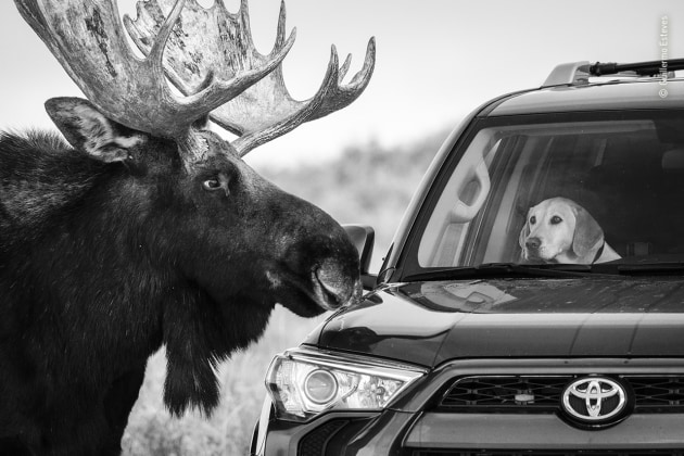 Close encounter by Guillermo Esteves, USA The worried looking expression on this dog's face speaks volumes and is a reminder that moose are large, unpredictable, wild animals. Guillermo was photographing moose on the side of the road at Antelope Flats in Grand Teton National Park, Wyoming, USA, when this large bull took an interest in the furry visitor – the driver of the car unable to move it before the moose made its approach. Luckily, the moose lost interest and went on its way after a few moments.
