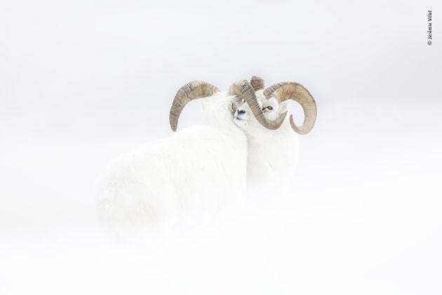 Frozen moment by Jérémie Villet, France. Winner 2019, Rising Star Portfolio Award. Pushing against each other, two male Dall's sheep in full winter-white coats stand immobile at the end of a fierce clash on a windswept snowy slope. For years, Jérémie had dreamed of photographing the pure-white North American mountain sheep against snow. Travelling to the Yukon, he rented a van and spent a month following Dall's sheep during the rutting season, when mature males compete for mating rights. On a steep ridge, these two rams attempted to duel, but strong winds, a heavy blizzard and extreme cold (-40°) forced them into a truce.