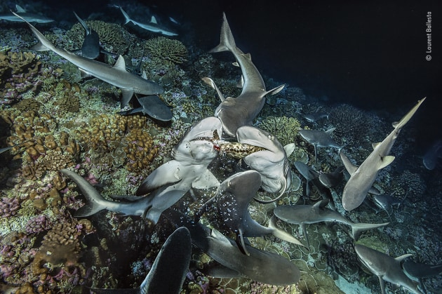Drawn and quartered by Laurent Ballesta, France Scraps of grouper flesh fall from the jaws of two grey reef sharks as they tear the fish apart. The sharks of Fakarava Atoll, French Polynesia, hunt in packs, but do not share their prey. A single shark is too clumsy to catch even a drowsy grouper. After hunting together to roust the grouper from its hiding place in the reef, the sharks encircle it, but then compete for the spoils – only a few sharks will have a part of the catch and most of them will remain unfed for several nights.