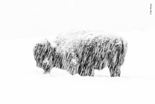 Snow exposure by Max Waugh, USA. Winner 2019, Black and White. In a winter whiteout in Yellowstone National Park, a lone American bison stands weathering the silent snow storm. Shooting from his vehicle, Max could only just make out its figure on the hillside. Bison survive in Yellowstone's harsh winter months by feeding on grasses and sedges beneath the snow.