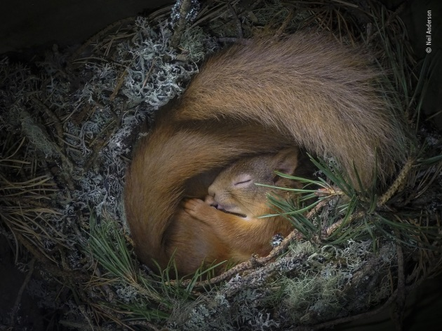 Drey dreaming by Neil Anderson, UK As the weather grew colder, two Eurasian red squirrels (only one is clearly visible) found comfort and warmth in a box Neil had put up in one of the pine trees near his home in the Scottish Highlands. In the colder months, it's common for the squirrels, even when unrelated, to share dreys. After discovering the box full of nesting material and in frequent use, Neil installed a camera and LED light with a diffuser on a dimmer. The box had a lot of natural light so he slowly increased the light to highlight his subjects – and using the WiFi app on his phone he was able take stills from the ground.