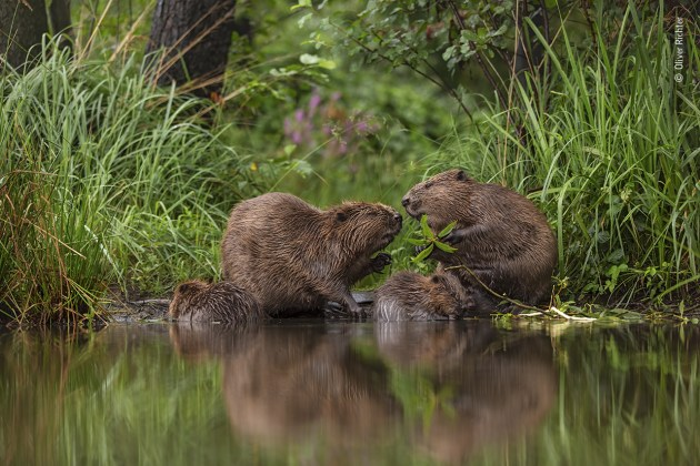 A special moment by Oliver Richter, Germany Oliver has observed the European beavers near his home in Grimma, Saxony, Germany, for many years, watching as they redesign the landscape to create valuable habitats for many species of wildlife including kingfishers and dragonflies. This family portrait is at the beavers' favourite feeding place and, for Oliver, the image reflects the care and love the adult beavers show towards their young.
