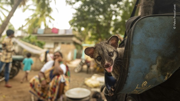 Coexistence by Pallavi Prasad Laveti, India A cheeky Asian palm civet kitten peeps from a bag in a small remote village in India, curiosity and playfulness shining in its eyes. This baby was orphaned and has lived its short life in the village backyard – comfortable in the company of locals, who have adopted the philosophy of 'live and let live'. Pallavi sees the image as one of hope, for in other parts of the world the civets are trapped for Kopi Luwak coffee production (coffee made from coffee beans that are partially digested and then pooped out by the civet) – where they are contained in tiny, unsanitary battery cages and force fed a restricted diet of coffee beans. She feels this image portrays a true essence of cohabitation.