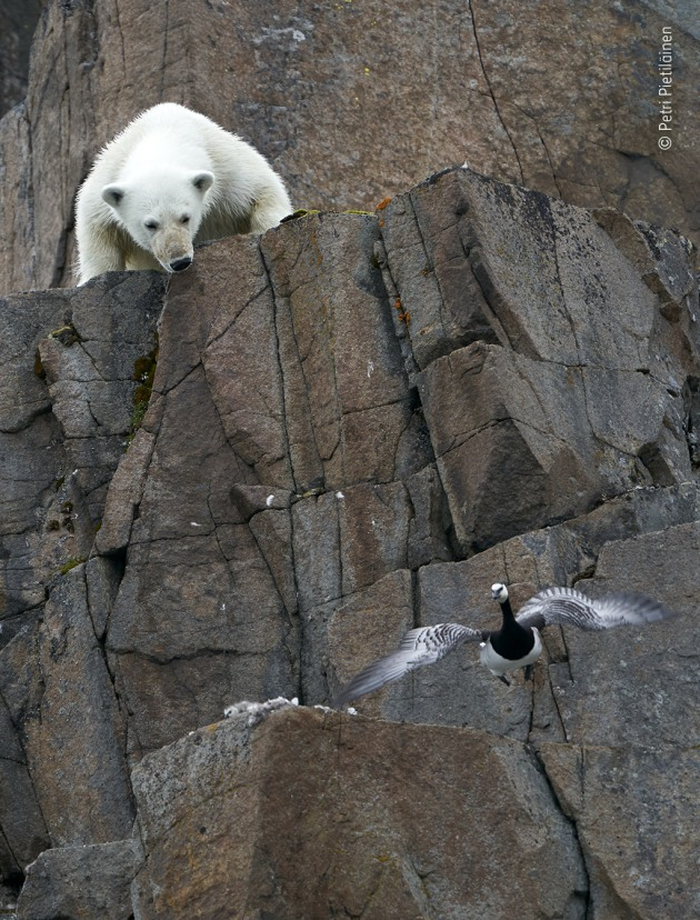 White danger by Petri Pietiläinen, Finland While on a photography trip to the Norwegian archipelago, Svalbard, Petri had hoped to spot polar bears. When one was sighted in the distance on a glacier, he switched from the main ship to a smaller rubber boat to get a closer look. The bear was making its way towards a steep cliff and the birds that were nesting there. It tried and failed several routes to reach them, but perseverance, and probably hunger, paid off as it found its way to a barnacle goose nest. Panic ensued as the adults and some of the chicks jumped off the cliff, leaving the bear to feed on what remained.