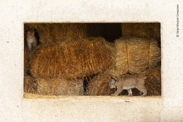 A window to life by Sergio Marijuán Campuzano, Spain. Two Iberian lynx kittens, Quijote and Queen, play in the abandoned hayloft where they were born. Extremely curious, but a bit scared as well, they started exploring the outside world through the windows of their straw-bale home. The reintroduction of the species to eastern Sierra Morena, Spain, has seen them, in more recent years, take advantage of some human environments. Their mother, Odrina, was also born in the hayloft, and her mother Mesta stayed with her for a whole year before leaving her daughter this safe and cosy place to raise her own family.