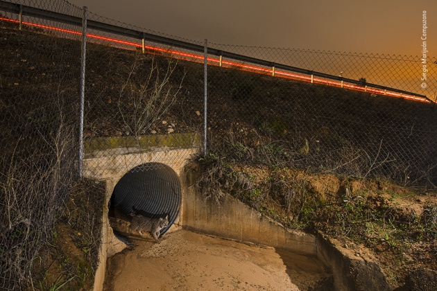 Life Saver by Sergio Marijuán Campuzano, Spain As urban areas grow, like Jaen in Spain, threats to wildlife increase, and Iberian lynx have become a casualty of traffic accidents as they too seek to expand their own territories. In 2019, over 34 lynx were run over, and three days before Sergio took this photo a two-year-old female lost her life not far from this spot. To combat mortality on the roads, improvements in the fencing and the construction of under-road tunnels are two proven solutions, and they are a lifeline for many other creatures as well as lynx.