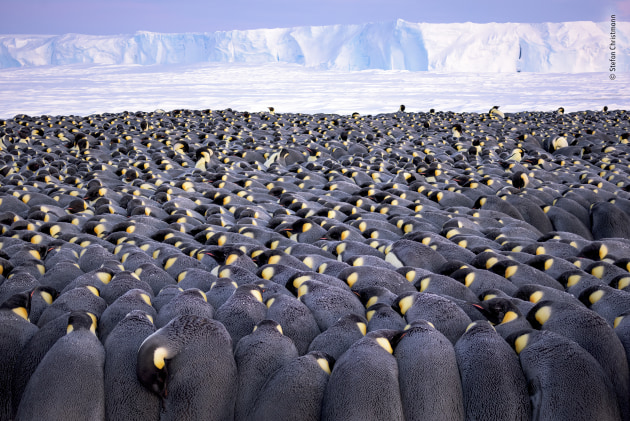 The huddle by Stefan Christmann, Germany Winner 2019, Wildlife Photographer of the Year Portfolio Award. More than 5,000 male emperor penguins huddle against the wind and late winter cold on the sea ice of Antarctica's Atka Bay, in front of the Ekström Ice Shelf. It was a calm day, but when Stefan took off his glove to delicately focus the tilt-shift lens, the cold 'felt like needles in my fingertips'. Each paired male bears a precious cargo on his feet – a single egg – tucked under a fold of skin (the brood pouch) as he faces the harshest winter on Earth, with temperatures that fall below -40˚C (-40˚F), severe wind chill and intense blizzards.