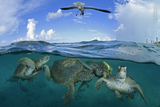 Turtle time machine by Thomas Peschak, Germany/South Africa During Christopher Columbus's Caribbean voyage of 1494, green sea turtles were said to be so numerous that his ships almost ran aground on them. Today the species is classified as endangered. However, at locations like Little Farmer's Cay in the Bahamas, green turtles can be observed with ease. An ecotourism project run by fishermen (some who used to hunt turtles) uses shellfish scraps to attract the turtles to the dock. Without a time machine it is impossible to see the pristine turtle population, but Thomas hopes that this image provides just a glimpse of the bounty our seas once held.