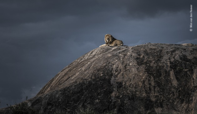 Lion king by Wim van den Heever, South Africa As Wim watched this huge male lion lying on top of a large granite rock, a cold wind picked up and blew across the vast open plains of the Serengeti, Tanzania. A storm was approaching and, as the last rays of sun broke through the cloud, the lion lifted its head and glanced in Wim's direction, giving him the perfect portrait of a perfect moment.