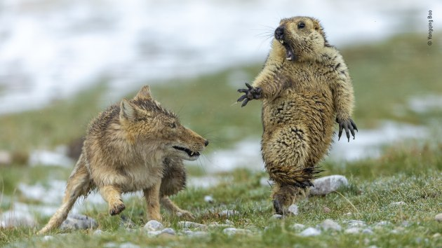 The moment by Yongqing Bao, China Joint Winner 2019, Behaviour: Mammals It was early spring on the alpine meadowland of the Qinghai–Tibet Plateau, in China's Qilian Mountains National Nature Reserve, and very cold. The marmot was hungry. It was still in its winter coat and not long out of its six-month, winter hibernation, spent deep underground with the rest of its colony of 30 or so. It had spotted the fox an hour earlier, and sounded the alarm to warn its companions to get back underground. But the fox itself hadn't reacted, and was still in the same position. So the marmot had ventured out of its burrow again to search for plants to graze on. The fox continued to lie still. Then suddenly she rushed forward. And with lightning reactions, Yongqing seized his shot. His fast exposure froze the attack.