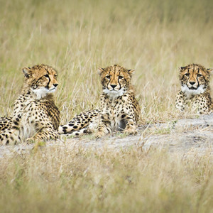 Baby cheetahs in a row. Nikon D800, 70-200mm lens @ 200mm, 1/2500s @ f/4, ISO 250, hand-held.